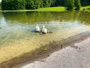 Schwäne Ostpark